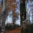 ブナの木の間を通る